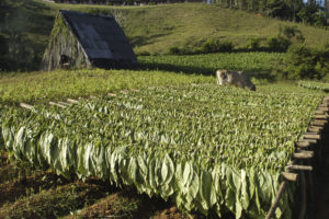 Nicaraguan Tobacco Field