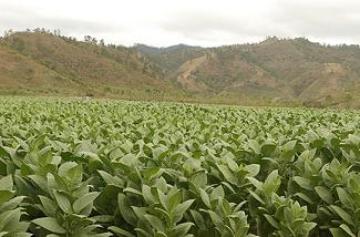 honduras tobacco field